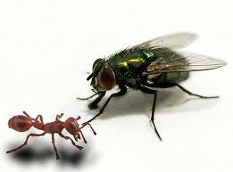 semut  dan lalat