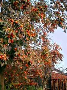pohon buah